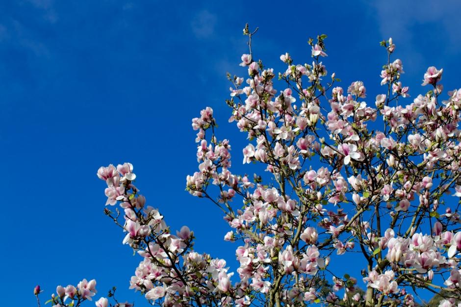 magnolias02