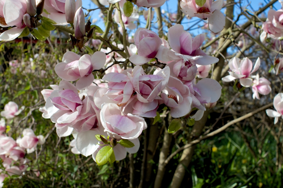 magnolias03