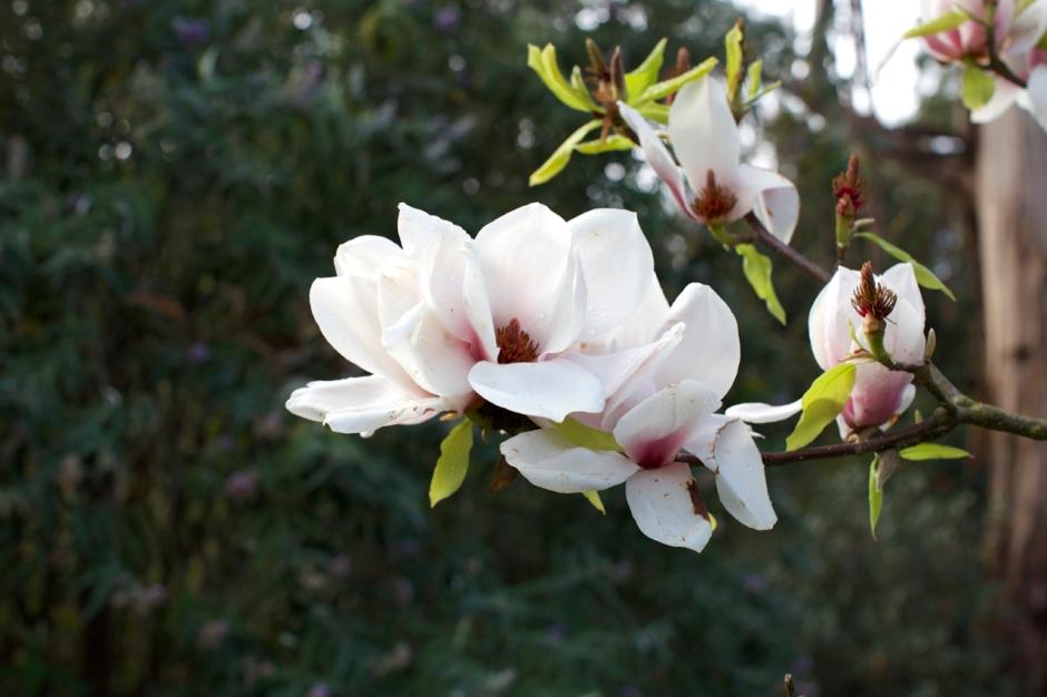 magnolias04