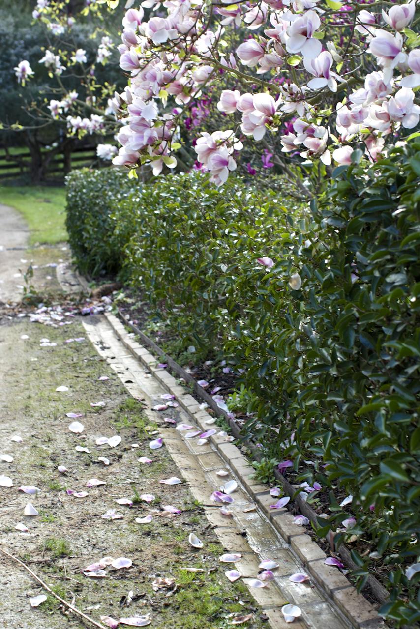 magnolias05